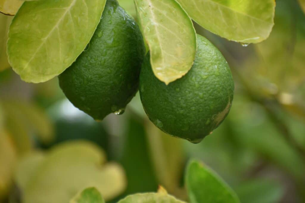 How To Store Lemons and Lime for 3 months